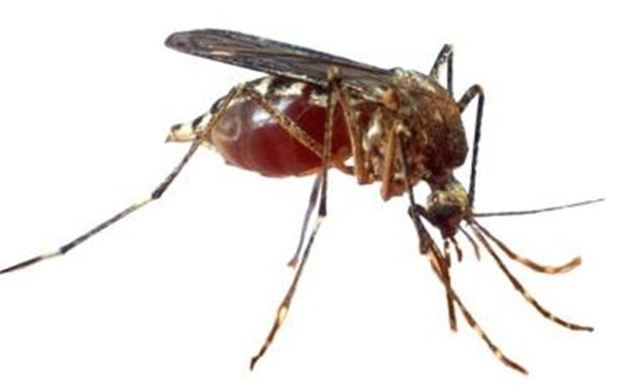 Mosquitoes prefer the O blood groups.